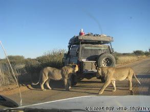 Photo: Dva ze šesti zvědavych přerostlych lvíčat, jenž studovali, koštovali a očmuchávali naše auto ;o) / Two of six lions that check out, tasted and smelled our car ;o)