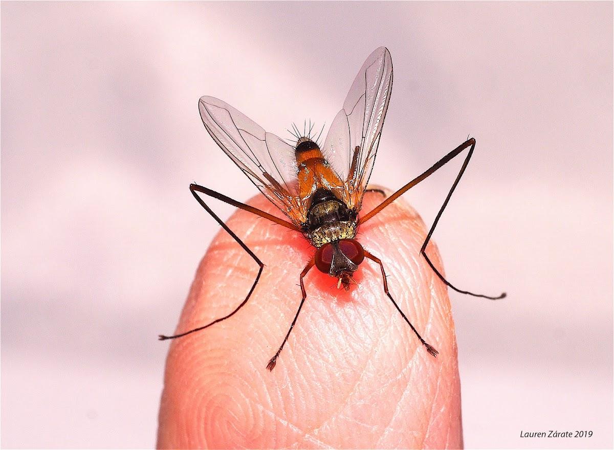 Long Legged Tachinid Fly
