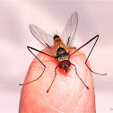Long Legged Tachinid Fly