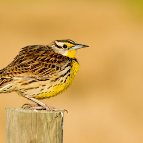 by Scott Helfrich - Animals Birds ( scotthelfrichphotography, bird, eastern meadowlark, beautiful, scotthelfrich, natgeo, naturephotography, wildlife, eastern, birds, meadowlark )