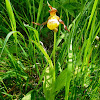 Small Yellow Lady's Slipper