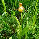 Small Yellow Lady's Slipper