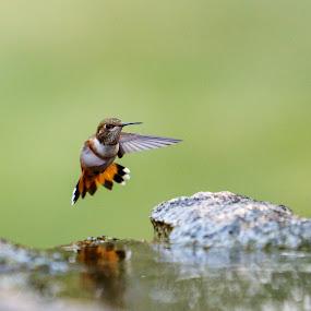 Hummingbird & Reflection by Sandra Woods - Animals Birds ( water, flight, reflection, hummingbird, central oregon,  )