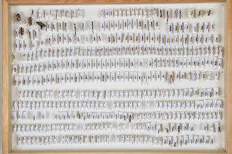 Photo: ZSM-HD-0001170 Various Ichneumonidae indet.