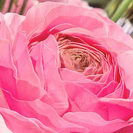 Pink bloom by Rosemary Gamburg - Flowers Single Flower ( #pink #flower #blooming pinkfower #singlebloom )