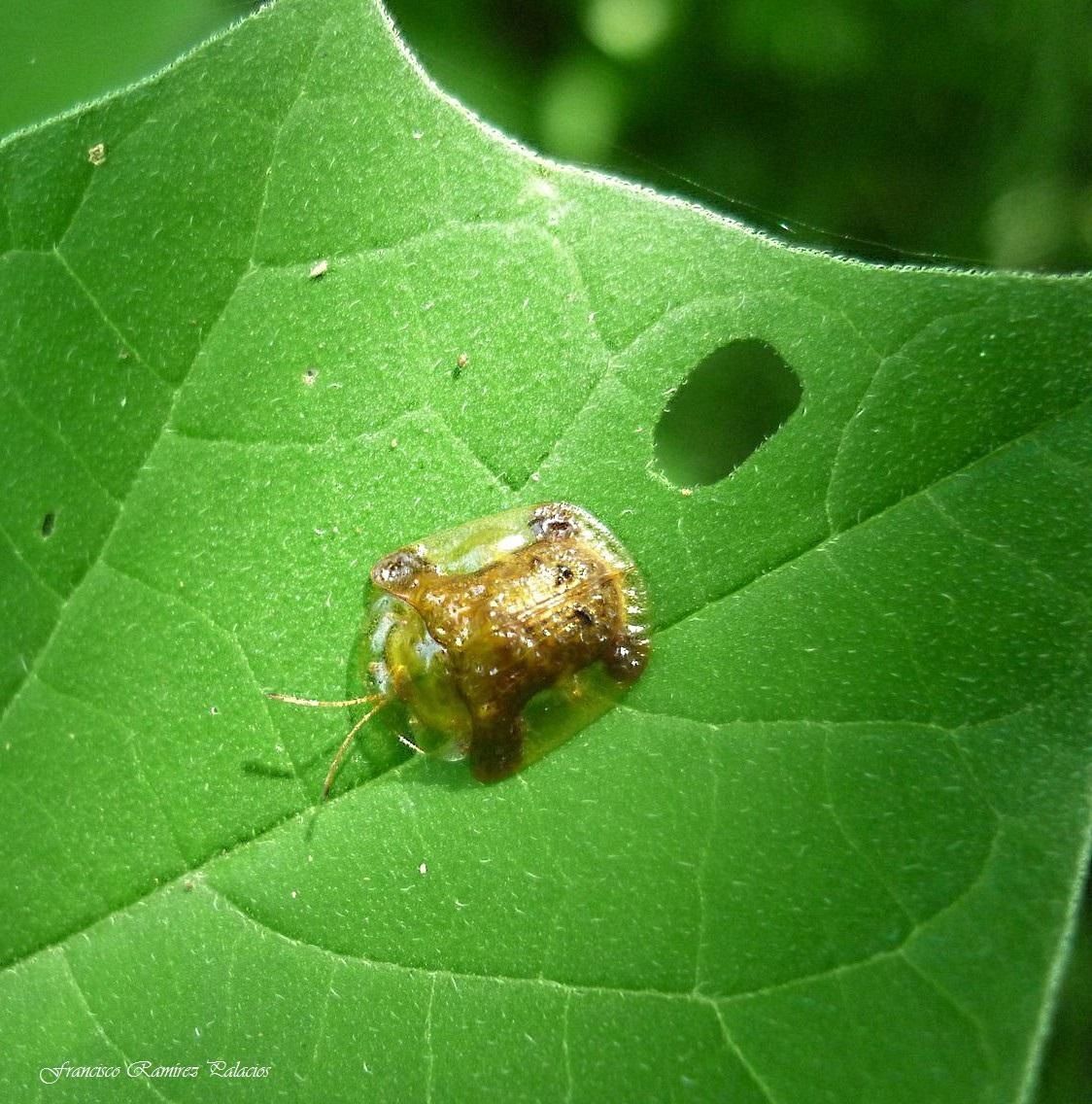 The Clavate Tortoise Beetle