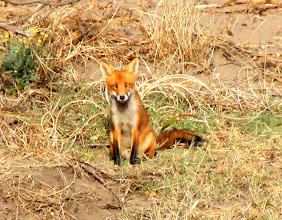 Photo: Year 2 Day 226 - Gorgeous Mr Foxy