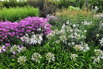 Photo: Agapanthus 'Windsor Grey' with Monarda, Echinops and Veronicastrum - RHS gardens Wisley