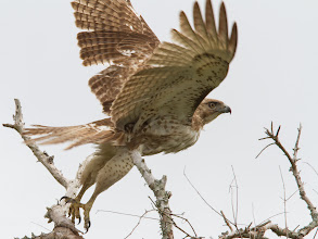 Photo: Red-tailed Hawk