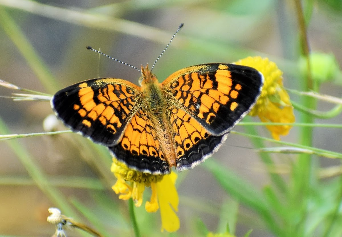 Pearl crescent (male)
