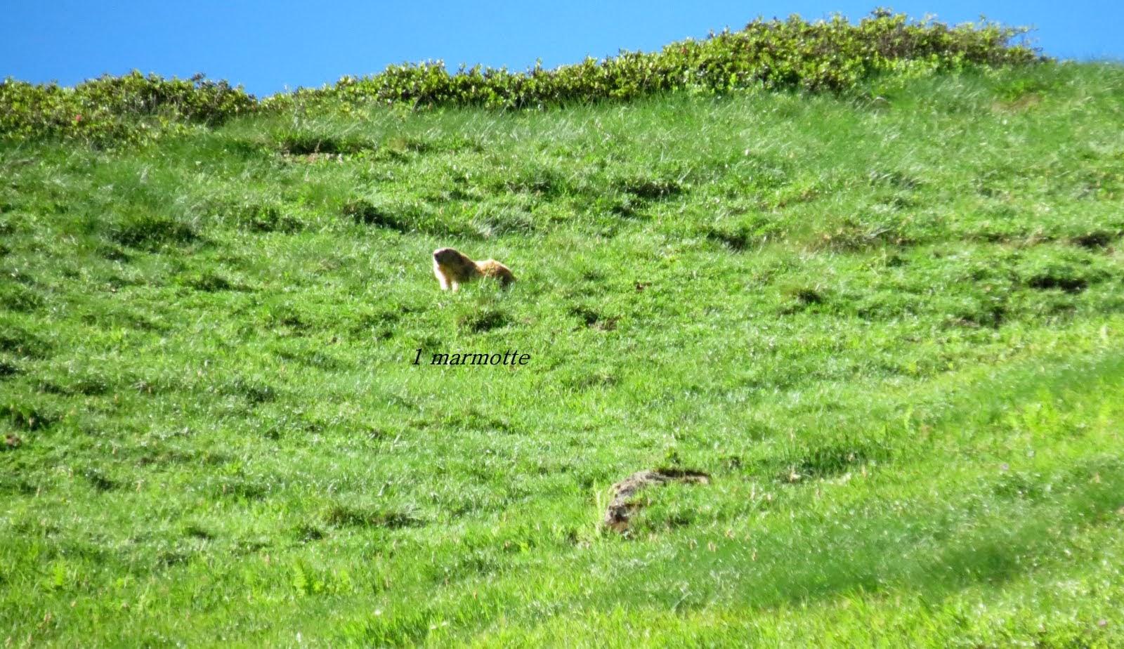 Photo: la chance est avec nous aujourdhui , encore une marmotte