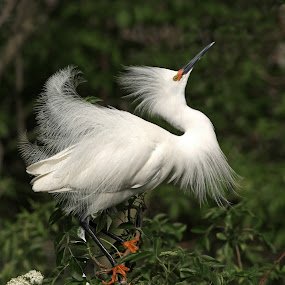 Snowy Egret Display by Richard Duerksen - Animals Birds ( egret display, orange feet, white bird, florida, snowy egret, egret )