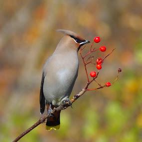 Jaseur by Christiane Ouellet - Animals Birds