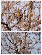 Photo: 撮影者:佐藤サヨ子 アカハラ タイトル: 観察年月日: 羽数: 場所: 区分: メッシュ: コメント: タイトル:珍しい鳥が出ました。 観察年月日:2015年1月11日 羽数:1羽 場所:高橋橋上流 区分:行動 メッシュ:武蔵府中2K コメント:これも一斉調査の時にであいました。ここでは2度目だとおもいますが。はじめ河畔の所にいたのですが、みんなに見られて怖かったのでしょうか、飛んで50Ⅿ先のこの木に止まりましたのでみんなでよくかんさつできました。