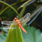 Scarlet dragonfly