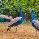 Indian peafowl, common peafowl, blue peafowl (m/ Peacock)