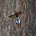 Cicada killer wasp with cicada