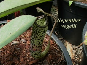 Photo: Nepenthes vogelii. Video image: S. Hartmeyer.