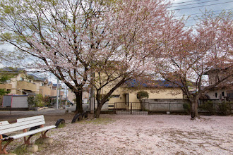 Photo: A section of Nagara Shrine grounds, Ōizumi, Ōra District, Gunma Prefecture, covered with fallen cherry blossom petals. Read more about Oizumi: http://japanvisitor.blogspot.jp/2015/04/oizumibrazil-in-japan.html