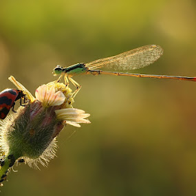hide and seek by Angga Putra - Animals Insects & Spiders ( damselfy )