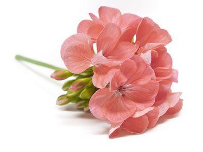 Geranium rosengeranium -  ekologisk eterisk olja