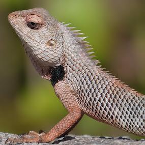 Chameleon Macro by Vaibhav Shende - Animals Reptiles ( chameleon macro, macro, reptile, best shot, close up,  )