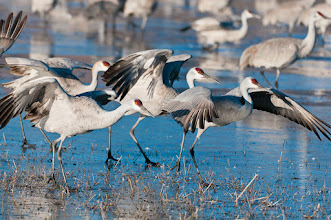Photo: This ice is tricky; Bosque del Apache