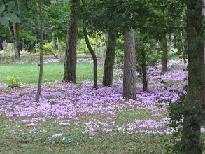Photo: Multitude de mini cyclamens