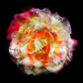 Roses aren't always red by Matthew Miller - Flowers Single Flower