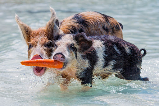 Two pigs joust for a carrot in South Eleuthera in the Bahamas.