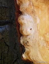 Photo: Burned tree art. Black Butte Burn.