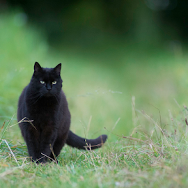 fafnir on the prowl by Annette Flottwell - Animals - Cats Playing ( champs, field, tomcat, gato, walking, cat, black, lenstagger, matou, meadow )