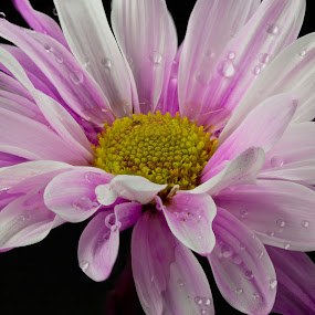 by Cal Brown - Flowers Single Flower (  )
