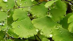 Detalle de las hojas de una planta de culantrillo.