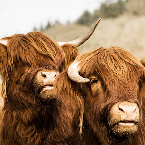 Highland Coos by James Johnstone - Animals Other Mammals ( highland cows, cattle, cows,  )