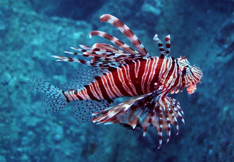 Photo: Lion fish (Pterois) at 37m