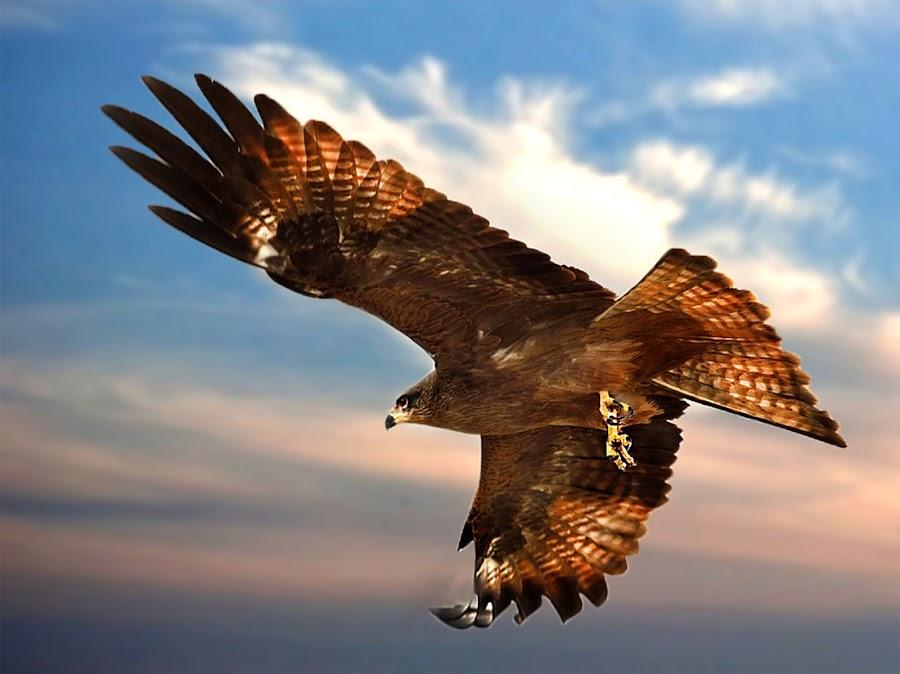Black Kite by Suman Chakraborty - Animals Birds ( bird, flight, animals, sky, nature, fly, kite, birds, animal,  )
