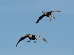 Photo: 19 Jan 14 Priorslee Flash Undercarriage down two Greylag Geese prepare to 'land' ('water' sounds wrong!) (Ed Wilson)