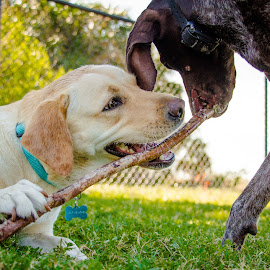 Wait! by Meaghan Browning - Animals - Dogs Playing ( playing, labrador retriever, stick, gsp, tug )