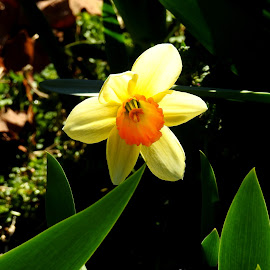DAFFODIL by Larry Moore - Flowers Single Flower (  )
