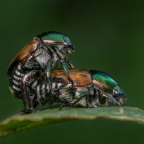 My Honey by Raden Bagus Paijo - Animals Insects & Spiders ( macro photography, insect, makro, animal )