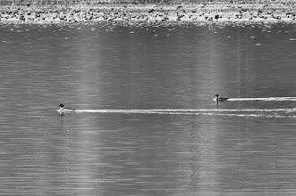 Photo: Common Merganser (Gänsesäger); Niederwartha, DE