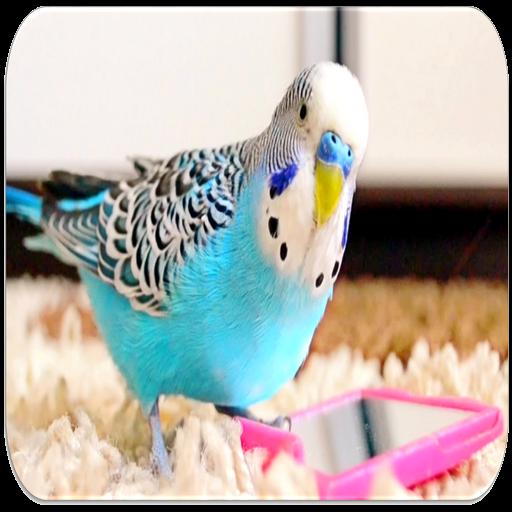 Parakeet sounds