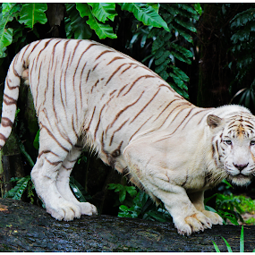 Posing White Tiger by Arunkumar Boyidapu - Animals Lions, Tigers & Big Cats ( wild, tiger, white, posing, bigcat )