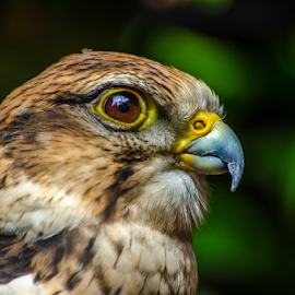 by Keith Sutherland - Uncategorized All Uncategorized ( raptor,  )