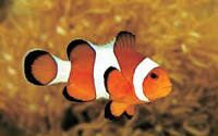 Image result for clown fish
