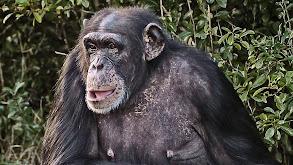 Chimp Negotiations thumbnail