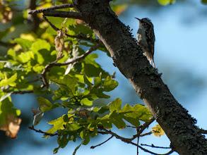 Photo: Eurasian Treecreeper (Waldbaumläufer); Stockholm, SE