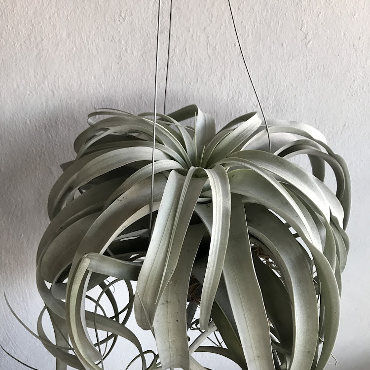 Tillandsia Xerographica XXL size single plant