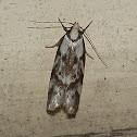 Palimmeces Moth
